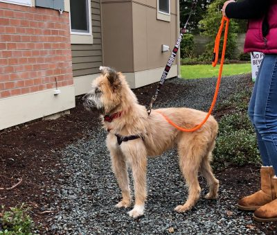 Pepper, a tan colored dog, walks on two leashes with her future owner.
