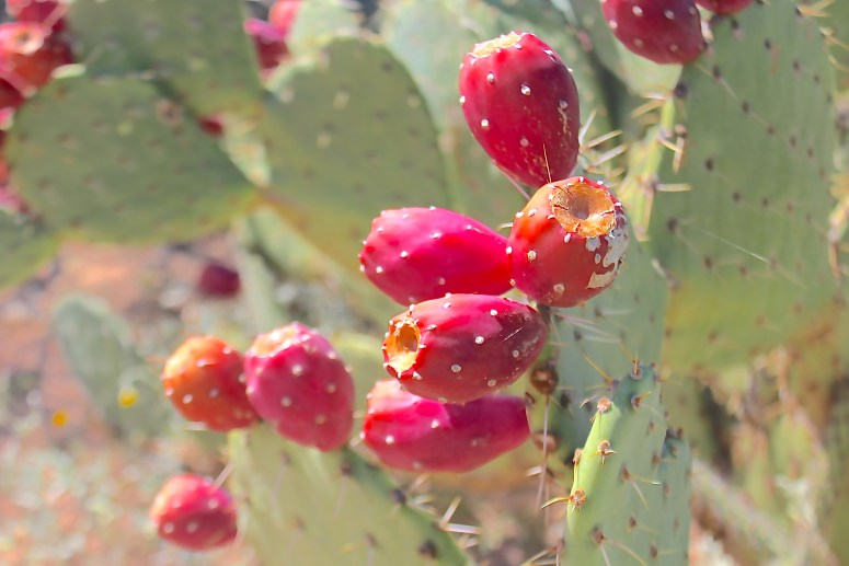 Prickly Pear Red Fruit in Saguaro National Park