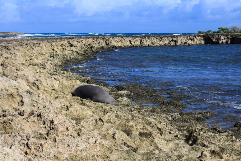 monk seal at kahuku point north shore oahu trail guide hau'ula loop trail hiking windward oahu