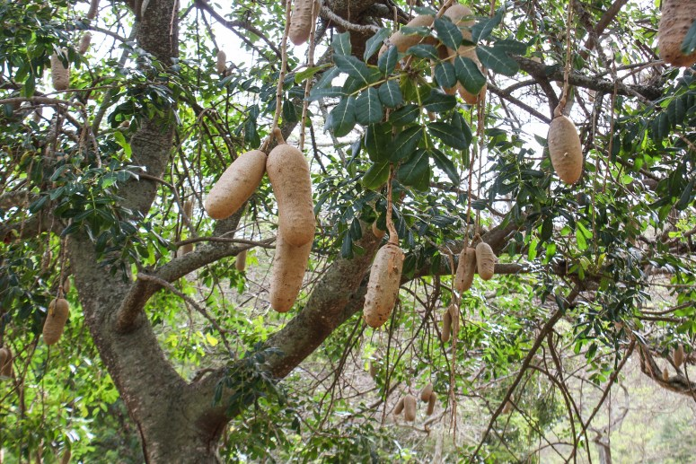 Sausage Tree in Koko Crater Botanical Garden Oahu Hawaii