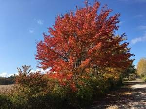 A large, red tree in autumn