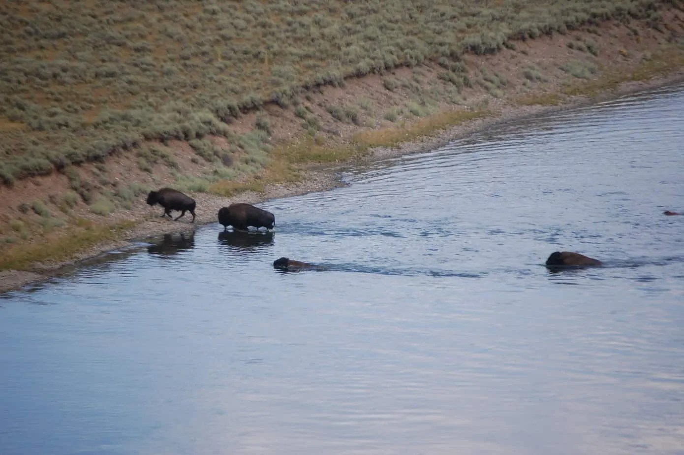 Bison Crossing River Teton National Park