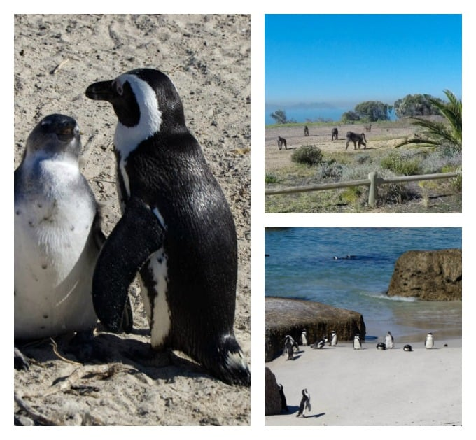 penguins and baboons along the coastline