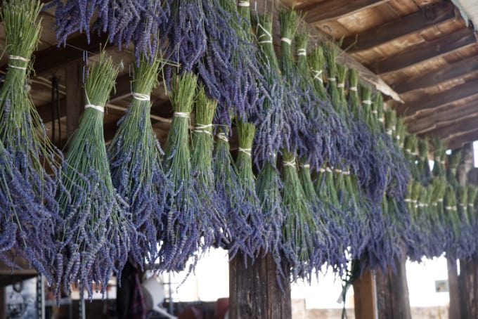 lavender hanging out to dry