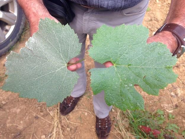 Chardonnay and Pinot Noir grape leaf comparison