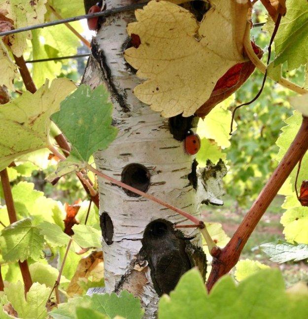 ladybug in a biodynamic vineyard bordeaux