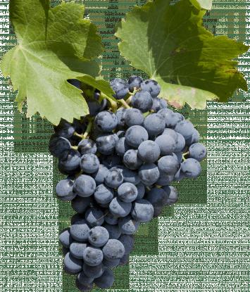 Grenache Noir grape bunch grapes