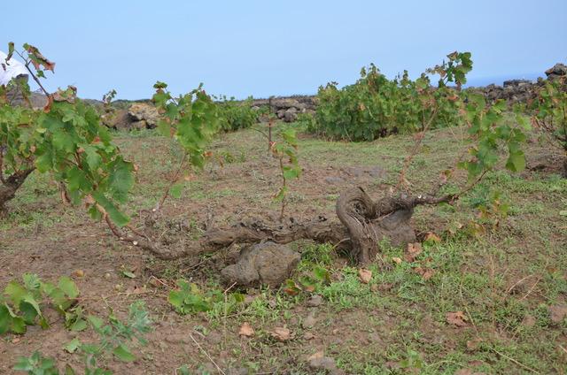 albarello vine training pantelleria Italy UNESCO heritage