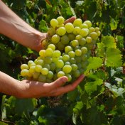 Moscato di Alexandria Muscat grape bunch