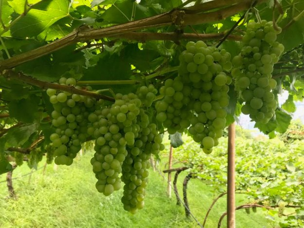 Italian wine grapes Muller Thurgau