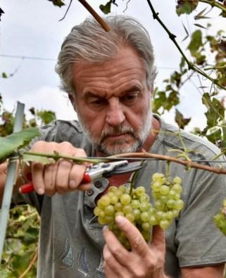 Winemaker Marco Sferlazzo harvesting his Catarratto Bianco grapes.