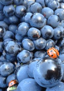 Negrette grapes Fiefs Vendéens AOC