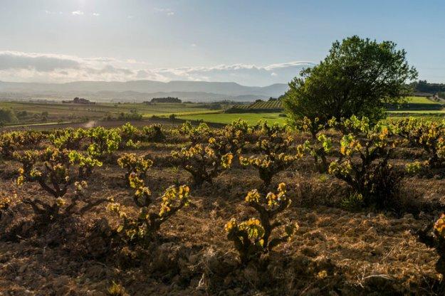 Penedes Spain grape vines