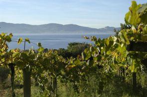 Albarino vineyard Rias Baixas Galicia