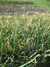 garlic growing at Eagle Creek Farm - photo - Karen Anderson