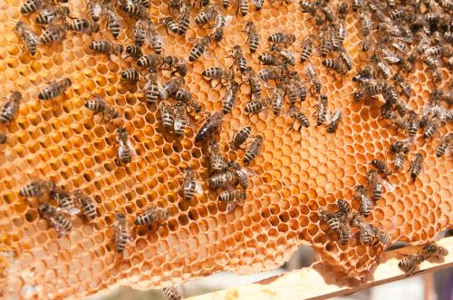 Meet a few of my bees! I'm so proud of them. If my queens perform they could have 60,000 little honey makers in each colony