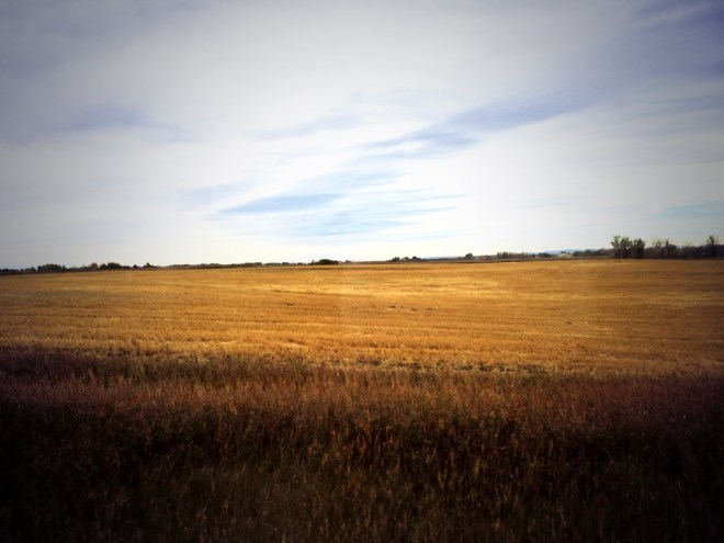 Freshly harvested organic barley field at Highwood Crossing Farm photo - Karen Anderson