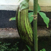 striped eggplant - photo - Karen Anderson