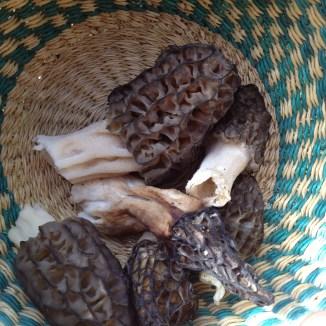 Morel mushrooms foraged near Millarviille, Alberta