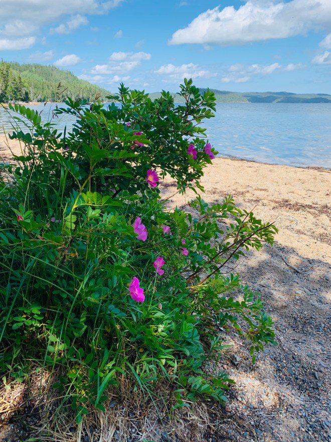 Wild roses, Newman Sound, NL - photo by Karen Anderson