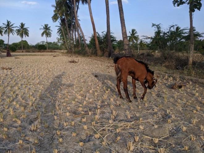 Goats and Dry Stubble - photo by Narasimha Reddy Yeddula