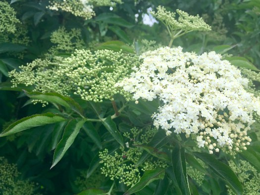 This is elderflower blossom in full bloom and also ready to bloom