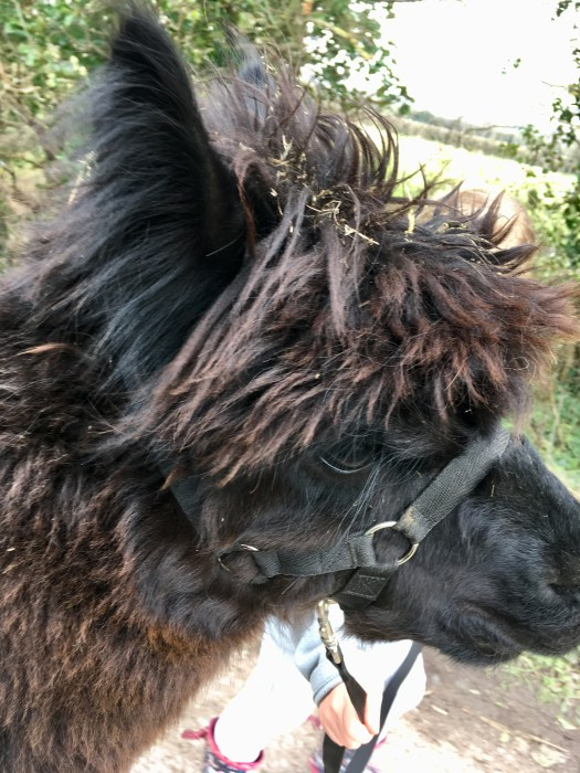 An image of one of the alpacas ready for his walk