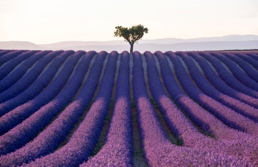A lavender field in France, row upon row of lavender plants in flower. The image is symmetrical, with a lone tree on the mid-point of the horizon of the field and of course, the light. Taken by Tracey Whitefoot.