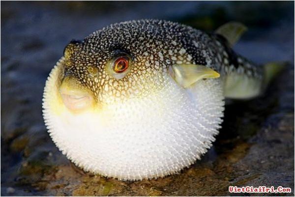 fugu-riba