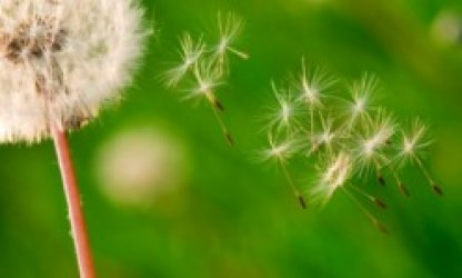Dandelion is not a bad weed