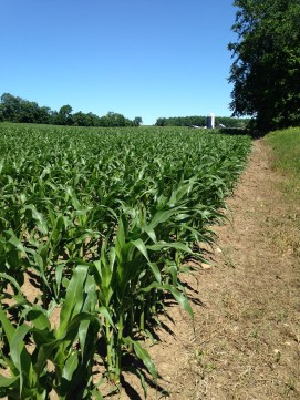 4. Corn planted in a field after it was in pasture.
