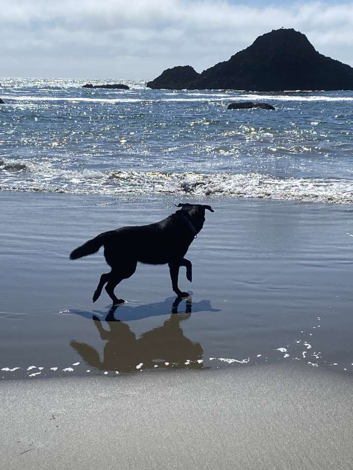 Picture of black lab Bella going into the waters of the Pacific Ocean