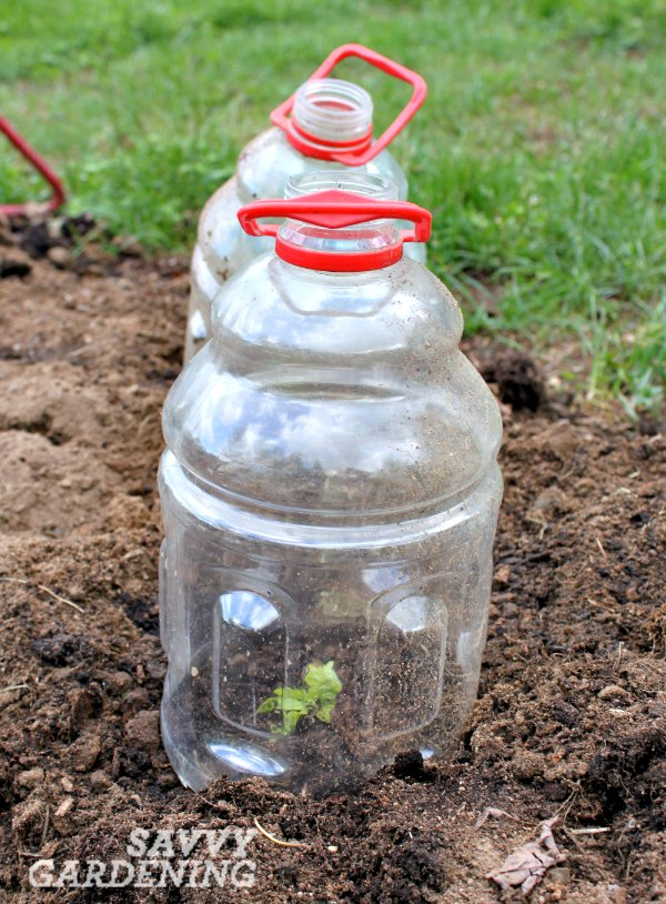 vegetable gardening tip a cloche can be made from simple household items - Garden Cloche