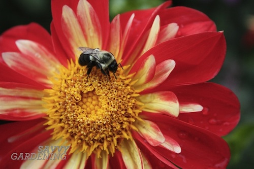 helping native bees