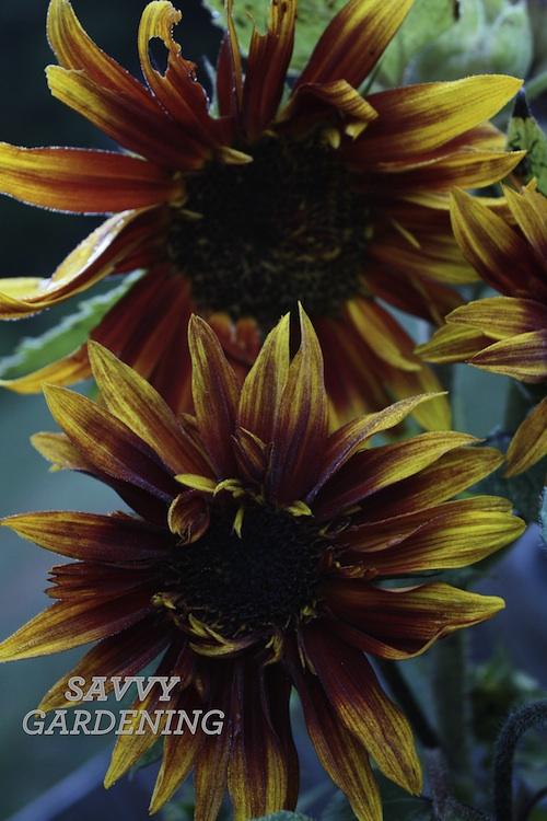 sunflower 500