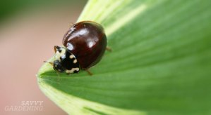 15-spotted ladybug