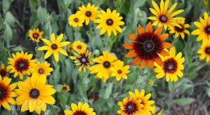 Rudbeckias: Powerhouse plants!