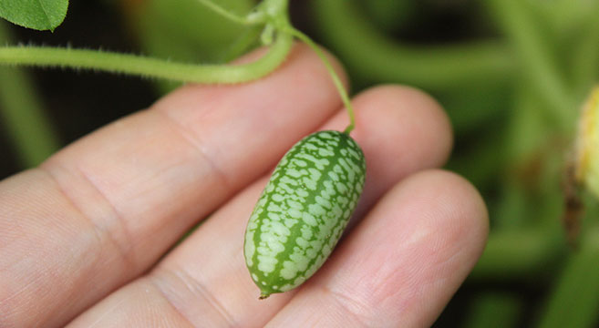 unusual cucumbers