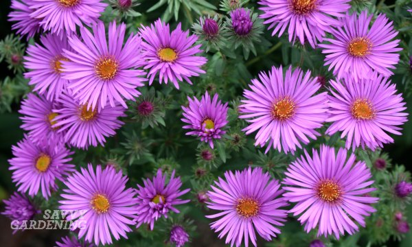 'Purple Dome' Aster