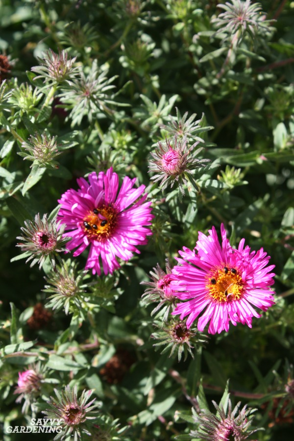 Asters: Perennials for Late-season Color