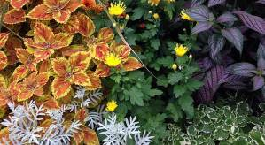 fall mums and coleus
