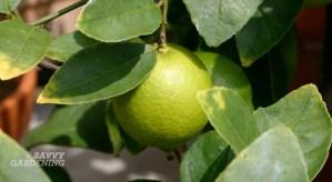 Citrus plant