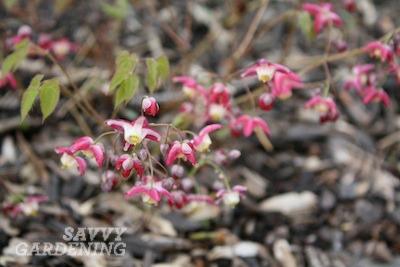 Epimedium rubrum (Barrenwort)