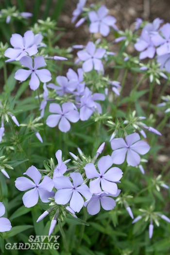 Early blooming perennials 10 favorites for your garden wood phlox mightylinksfo