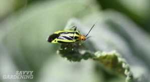 Four-lined plant bug adult