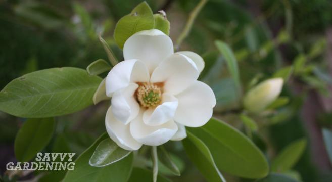 Moonglow magnolia