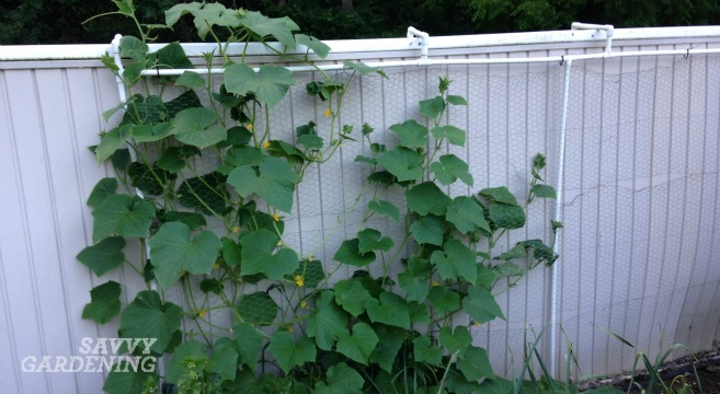 growing cucumbers vertically