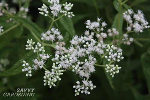 5 late blooming pollinator friendly plants common boneset eupatorium perfoliatum is a truly important plant to late season pollinators its white fluffy blooms were found to host a broad diversity mightylinksfo