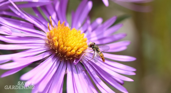 pollinator friendly plants