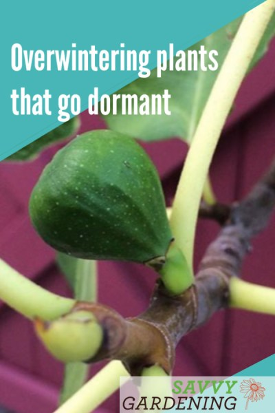 Overwintering plants that go dormant, like figs and brugmansia